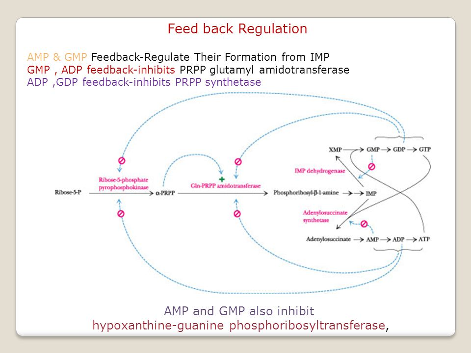Feed back Regulation AMP and GMP also inhibit