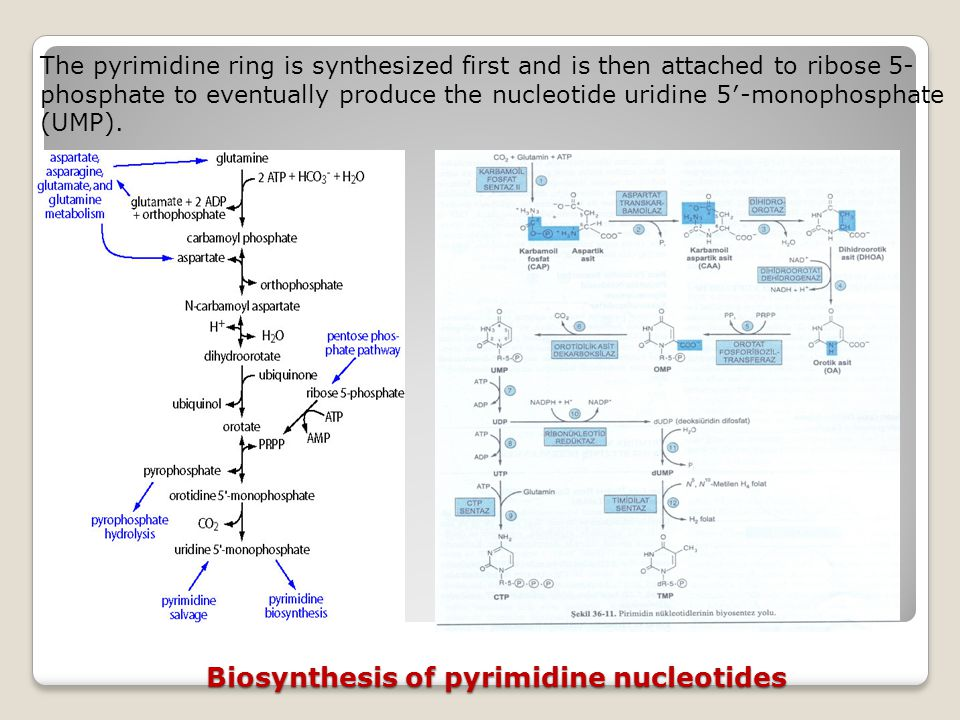 Biosynthesis of pyrimidine nucleotides