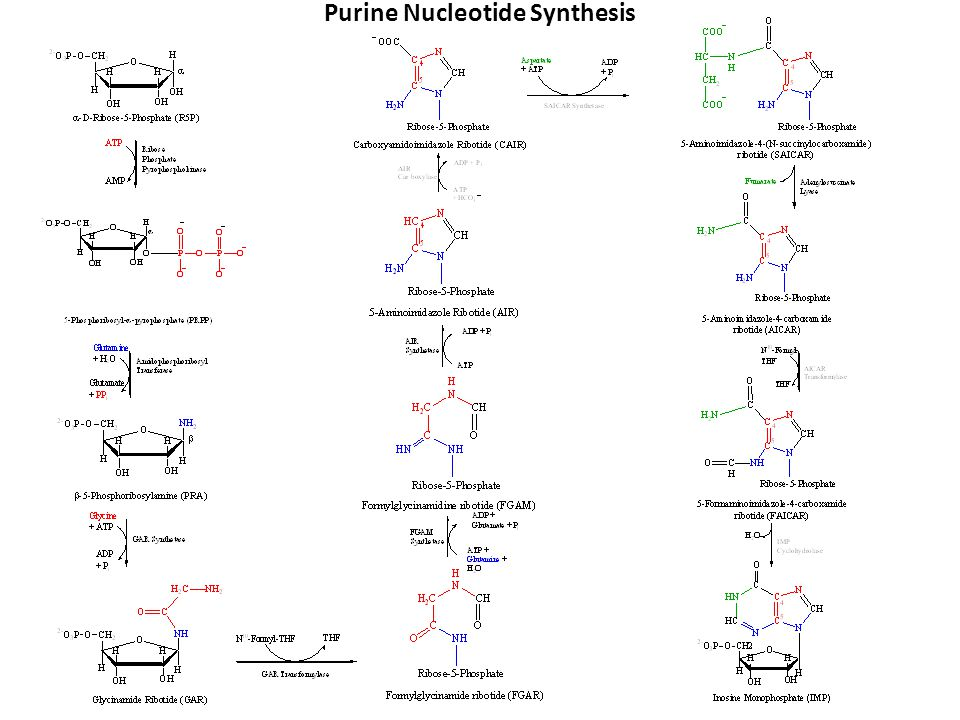 Purine Nucleotide Synthesis