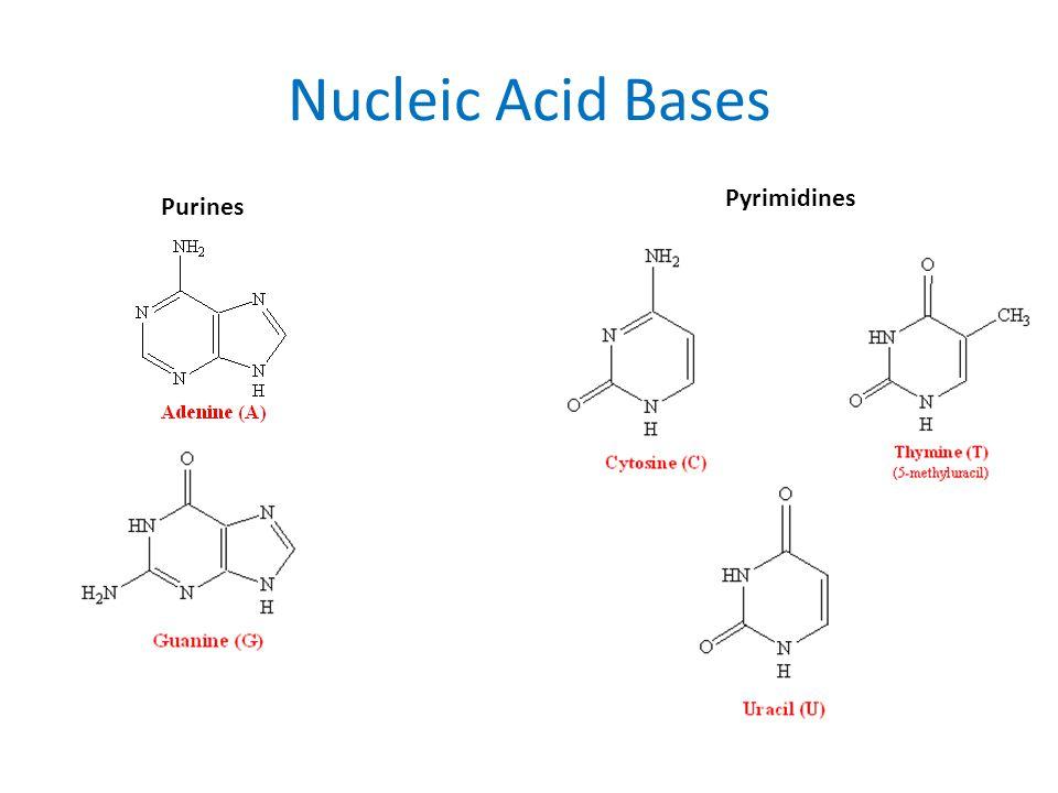 Nucleic Acid Bases Pyrimidines Purines