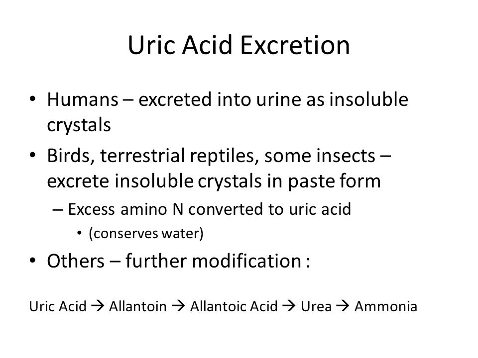 Uric Acid Excretion Humans – excreted into urine as insoluble crystals