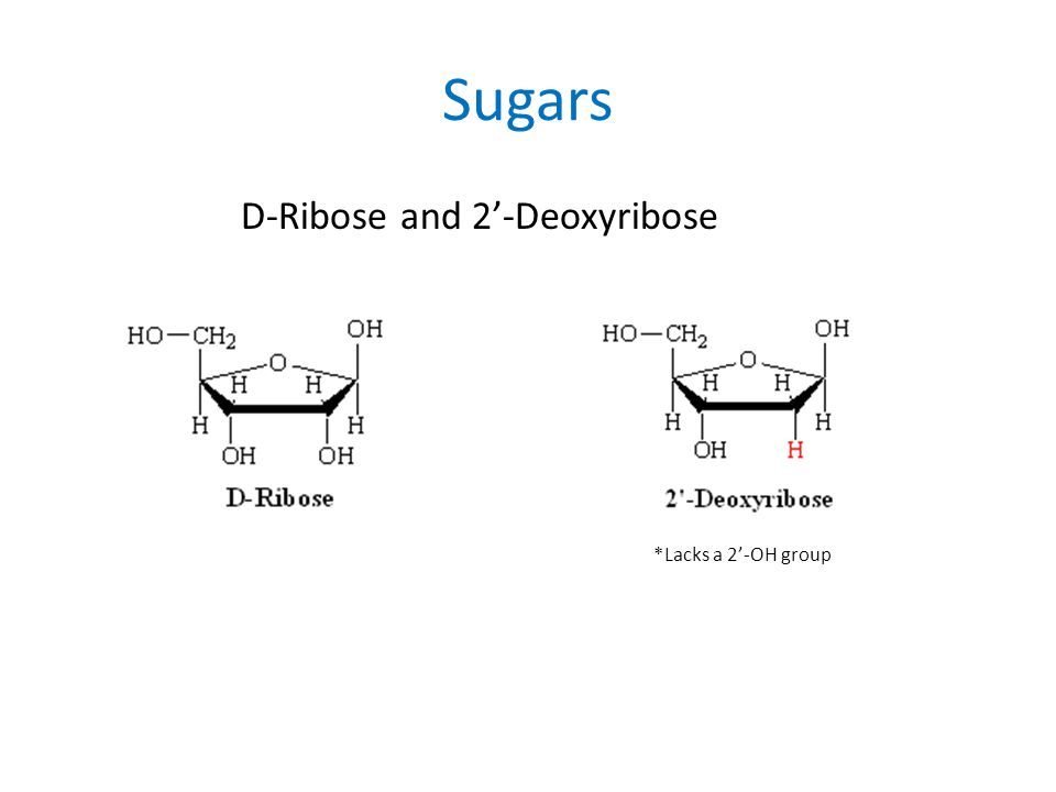 Sugars D-Ribose and 2'-Deoxyribose *Lacks a 2'-OH group