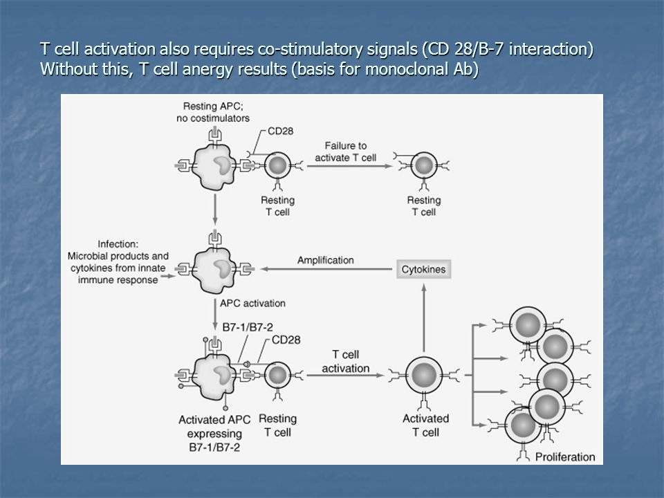 T cell activation also requires co-stimulatory signals (CD 28/B-7 interaction) Without this, T cell anergy results (basis for monoclonal Ab)