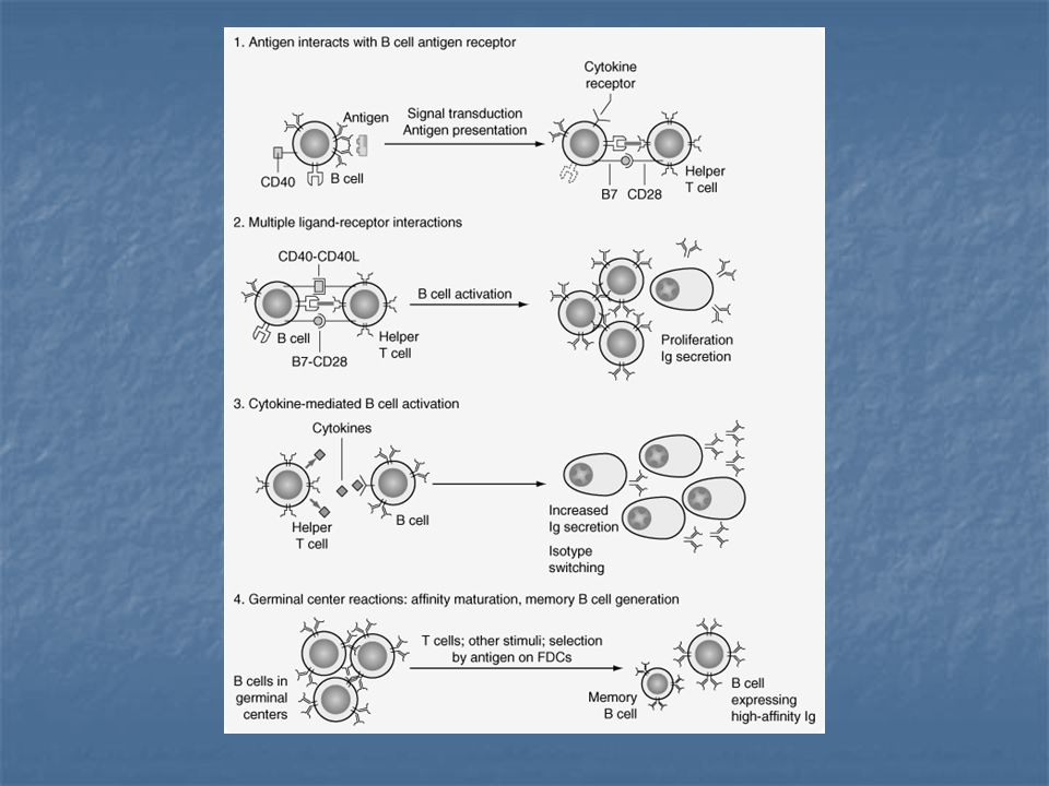 FIGURE 26-8. Phases of helper T-cell–dependent antibody responses