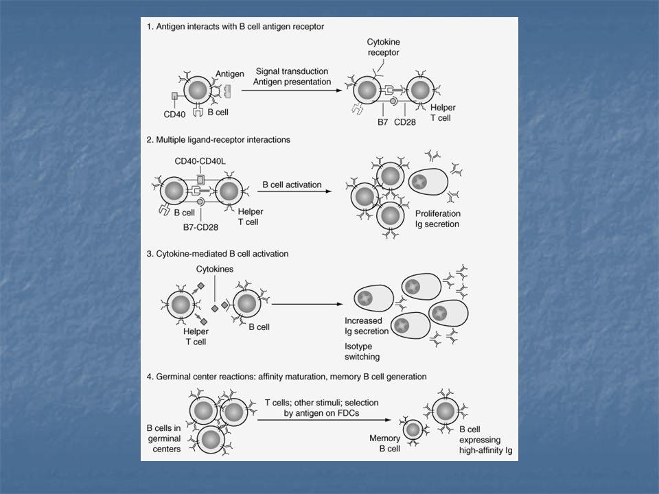 FIGURE 26-8. Phases of helper T-cell–dependent antibody responses