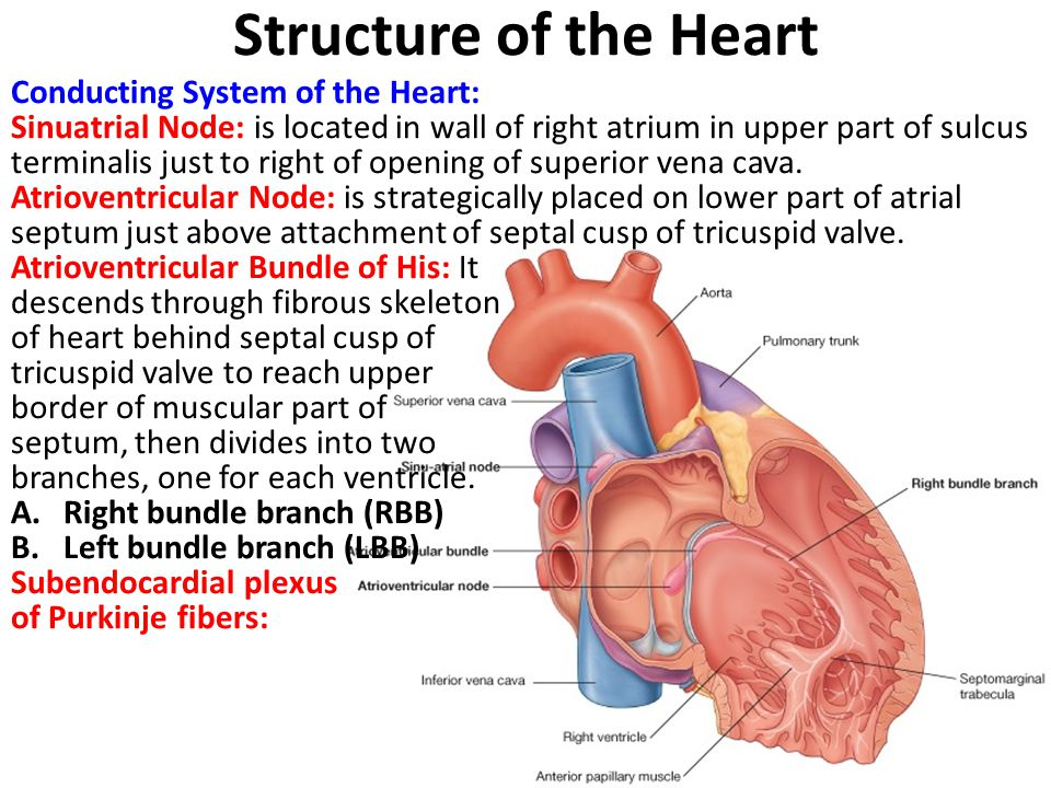 Structure of the Heart Conducting System of the Heart: