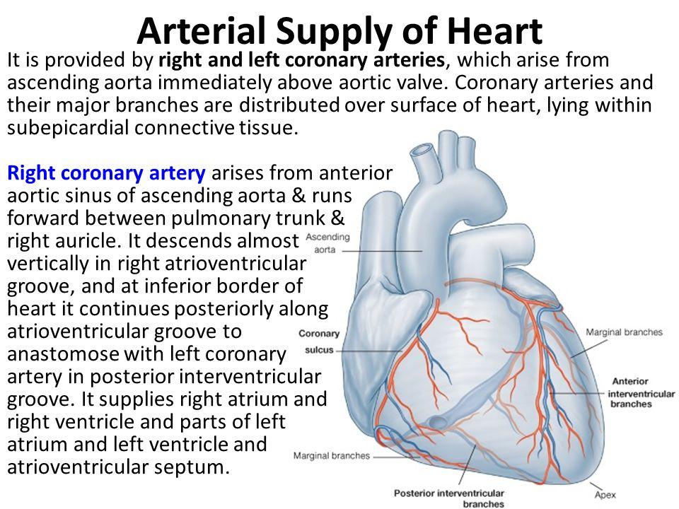 Arterial Supply of Heart