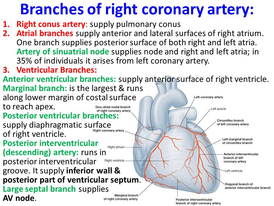 Branches of right coronary artery: