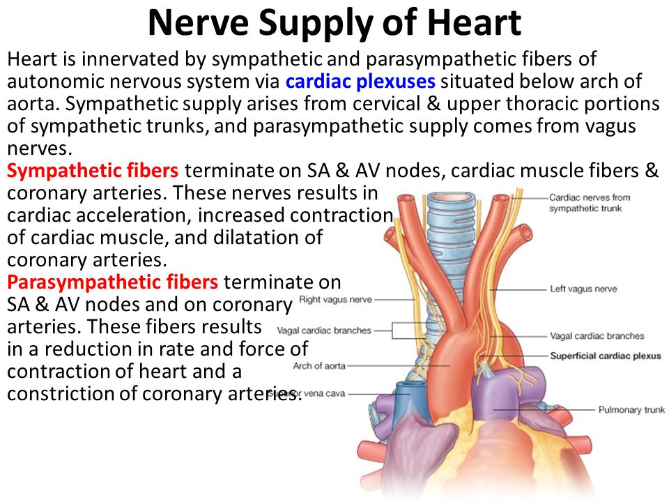 Nerve Supply of Heart