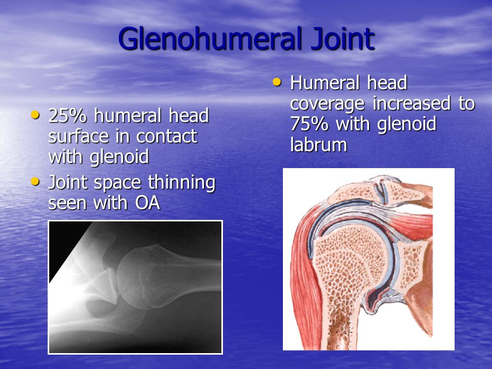 Glenohumeral Joint Humeral head coverage increased to 75% with glenoid labrum. 25% humeral head surface in contact with glenoid.