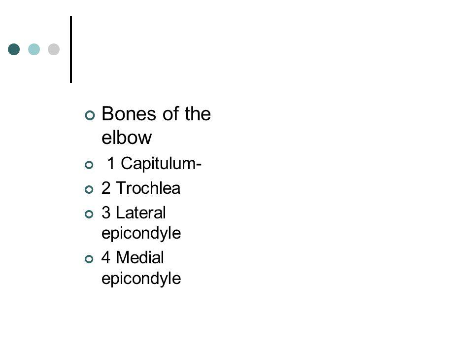 Bones of the elbow 1 Capitulum- 2 Trochlea 3 Lateral epicondyle