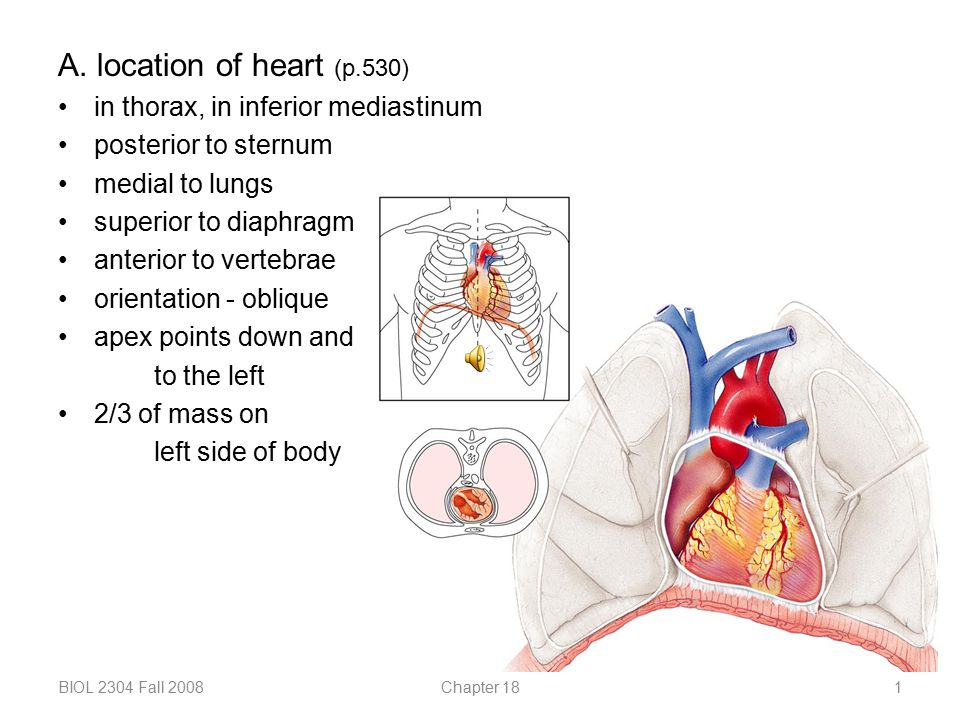A. location of heart (p.530) in thorax, in inferior mediastinum ...