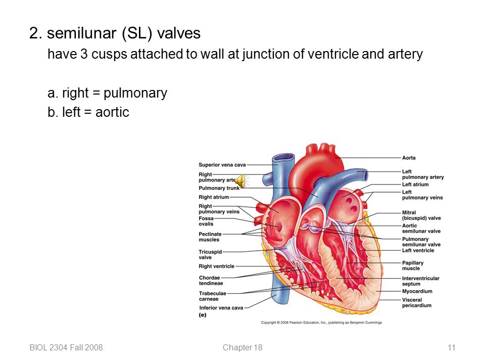 2. semilunar (SL) valves have 3 cusps attached to wall at junction of ventricle and artery. a. right = pulmonary