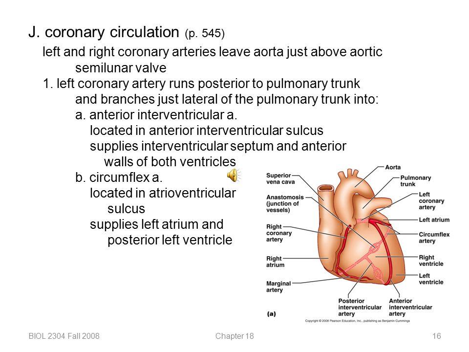 J. coronary circulation (p. 545)