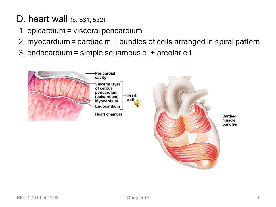 D. heart wall (p. 531, 532) 1. epicardium = visceral pericardium