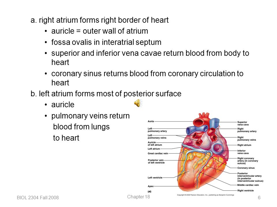 a. right atrium forms right border of heart