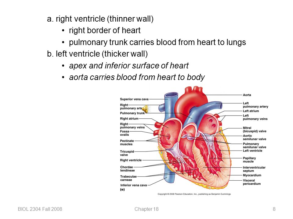 a. right ventricle (thinner wall) right border of heart