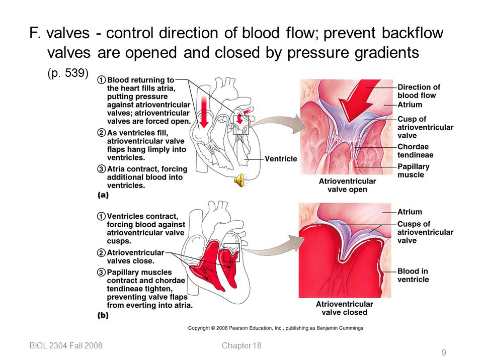 F. valves - control direction of blood flow; prevent backflow valves are opened and closed by pressure gradients (p. 539)