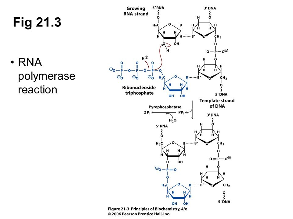 Fig 21.3 RNA polymerase reaction