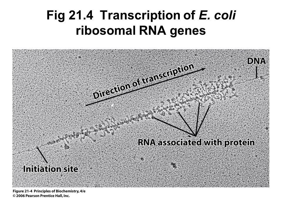 Fig 21.4 Transcription of E. coli ribosomal RNA genes