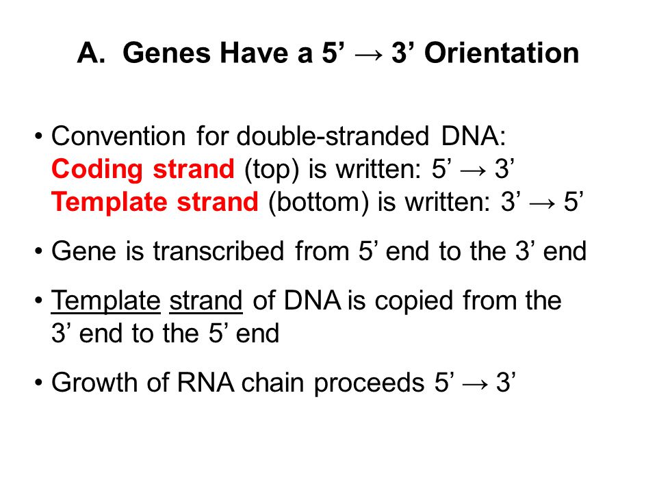 A. Genes Have a 5' → 3' Orientation