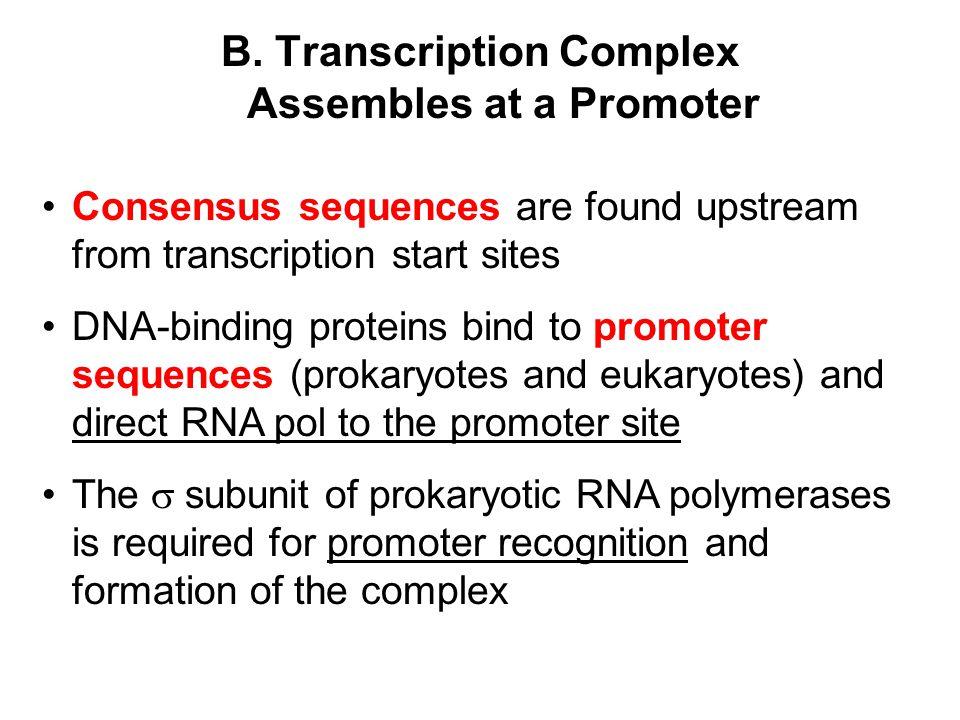 B. Transcription Complex Assembles at a Promoter