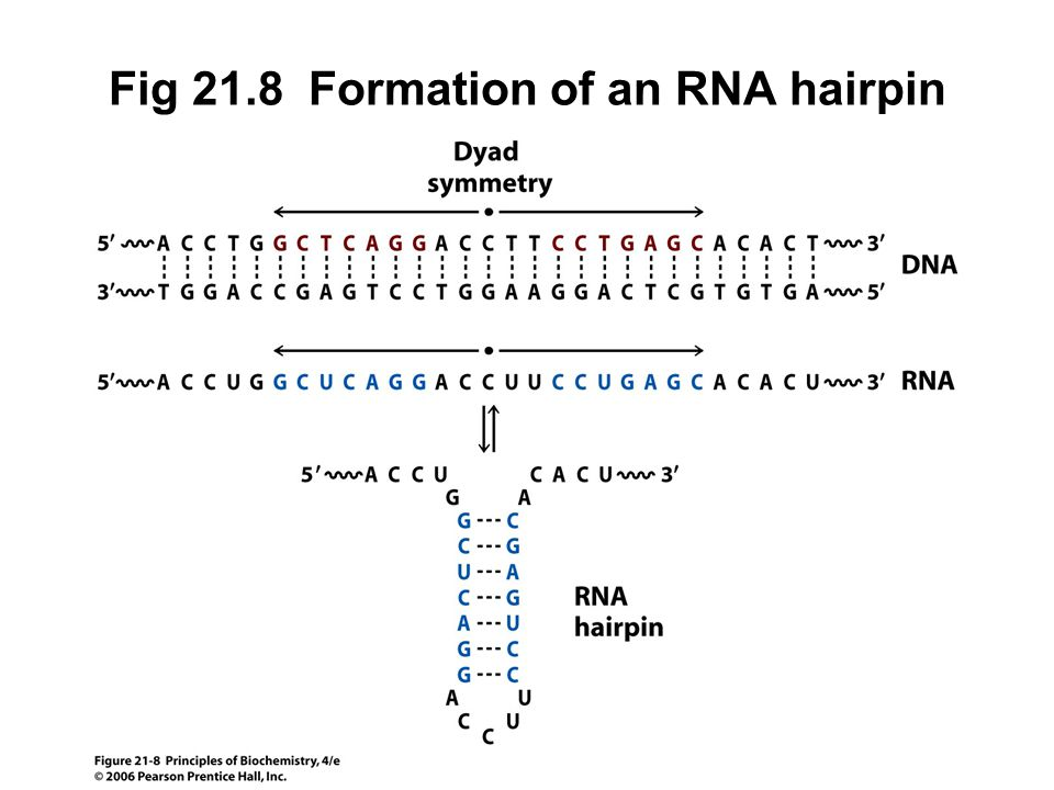 Fig 21.8 Formation of an RNA hairpin