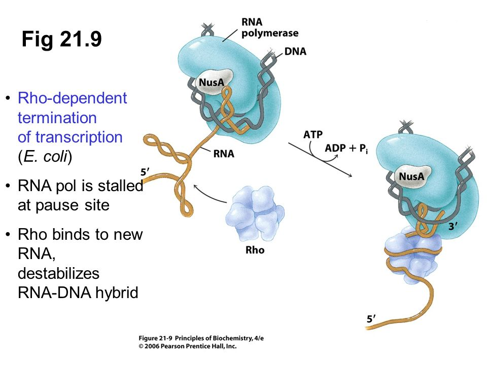 Fig 21.9 Rho-dependent termination of transcription (E. coli)