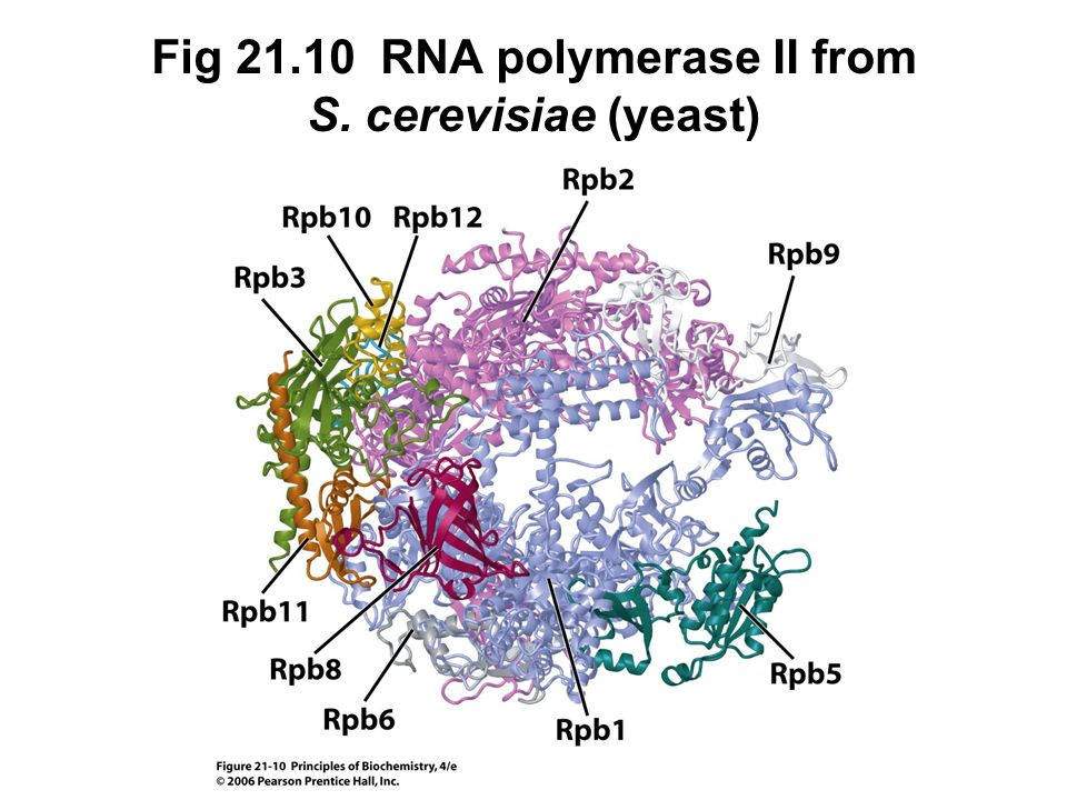 Fig 21.10 RNA polymerase II from S. cerevisiae (yeast)