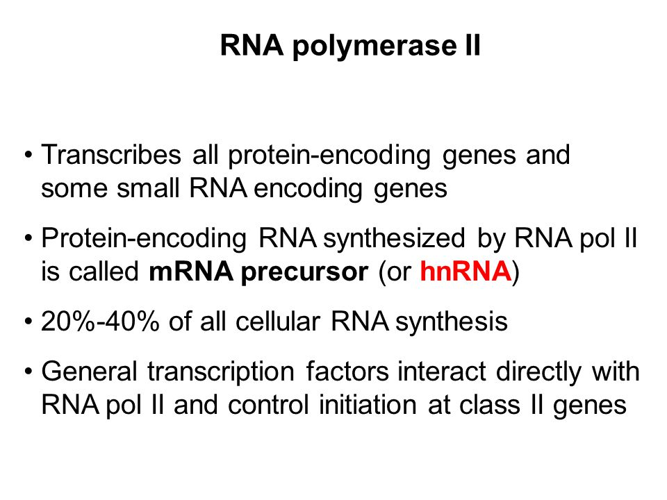 RNA polymerase II Transcribes all protein-encoding genes and some small RNA encoding genes.