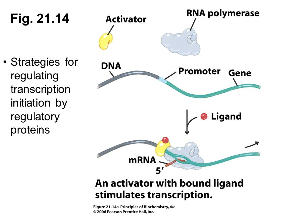 Fig. 21.14 Strategies for regulating transcription initiation by regulatory proteins