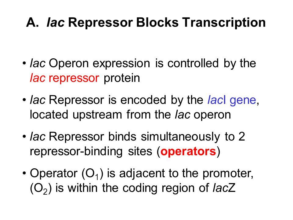 A. lac Repressor Blocks Transcription