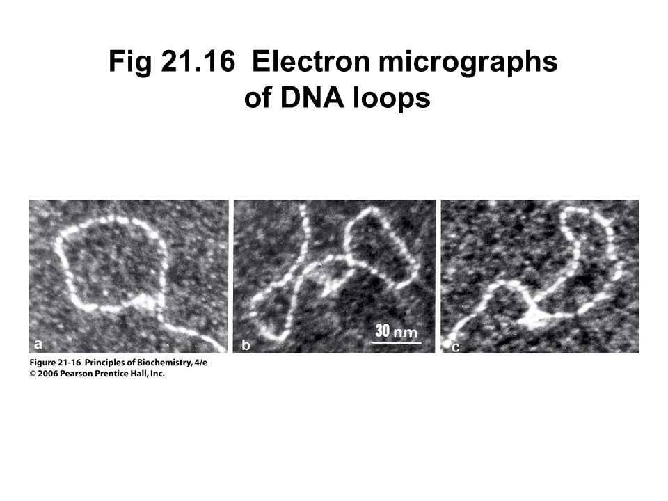 Fig 21.16 Electron micrographs of DNA loops