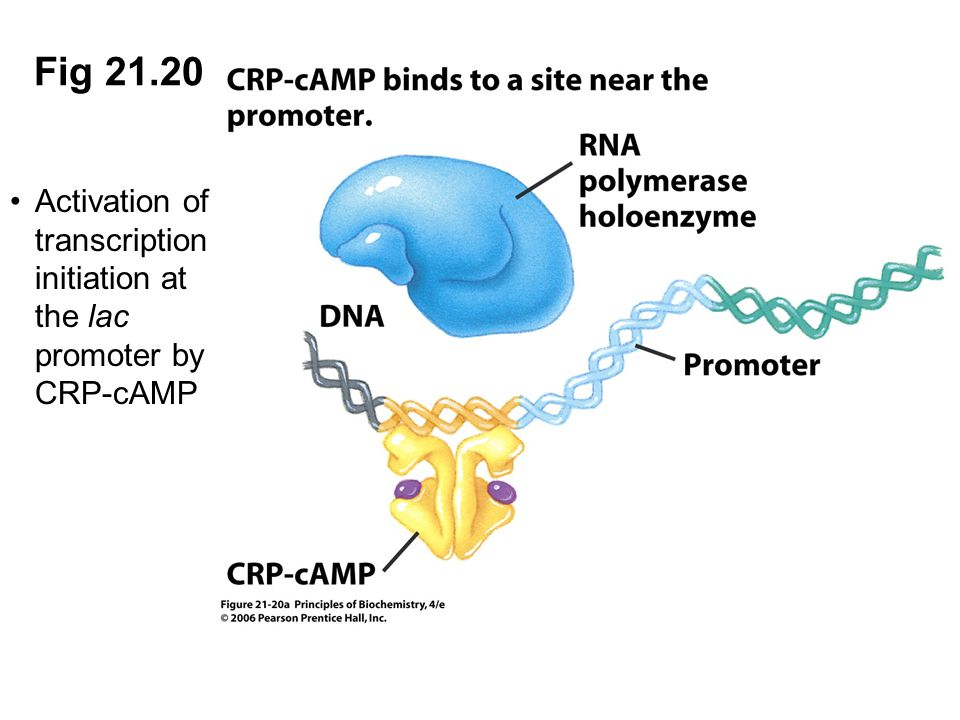 Fig 21.20 Activation of transcription initiation at the lac promoter by CRP-cAMP