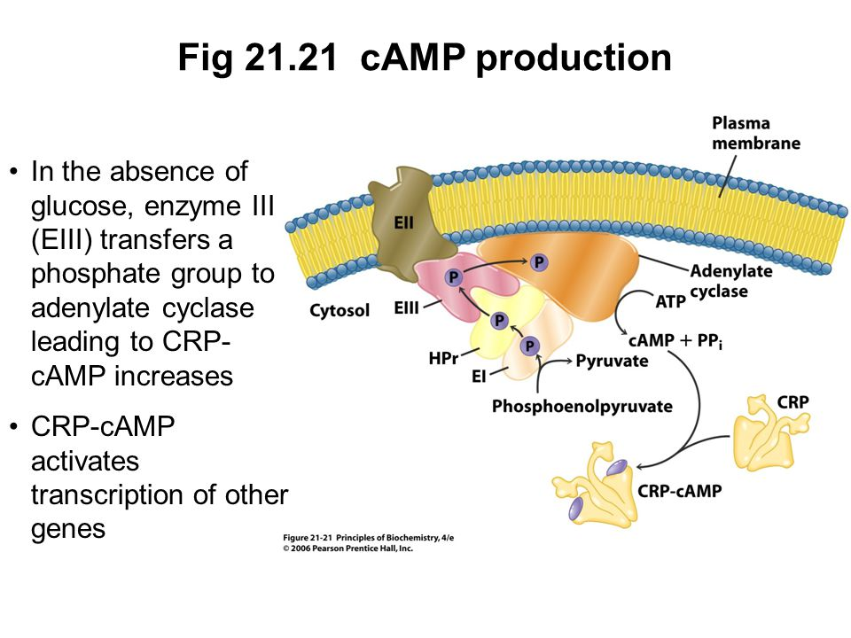 Fig 21.21 cAMP production