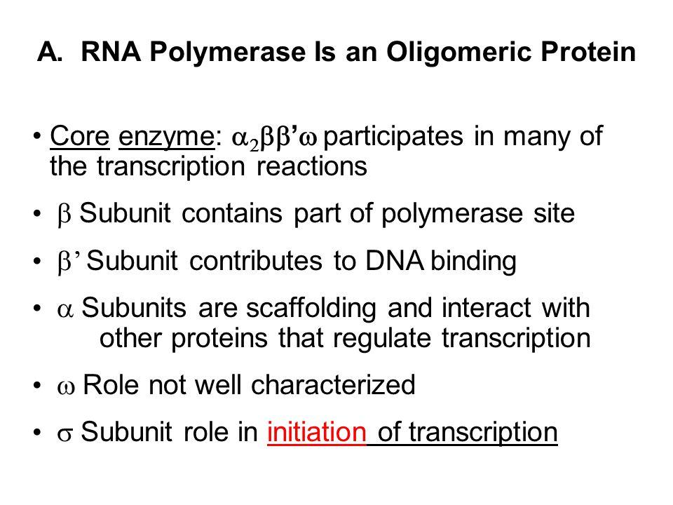 A. RNA Polymerase Is an Oligomeric Protein