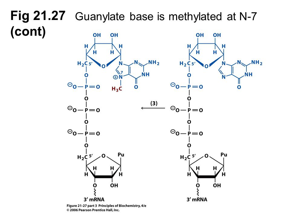 Fig 21.27 (cont) Guanylate base is methylated at N-7 methylase