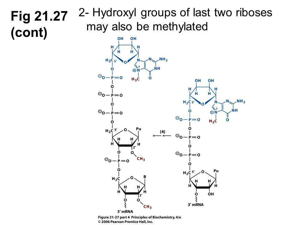 2- Hydroxyl groups of last two riboses may also be methylated