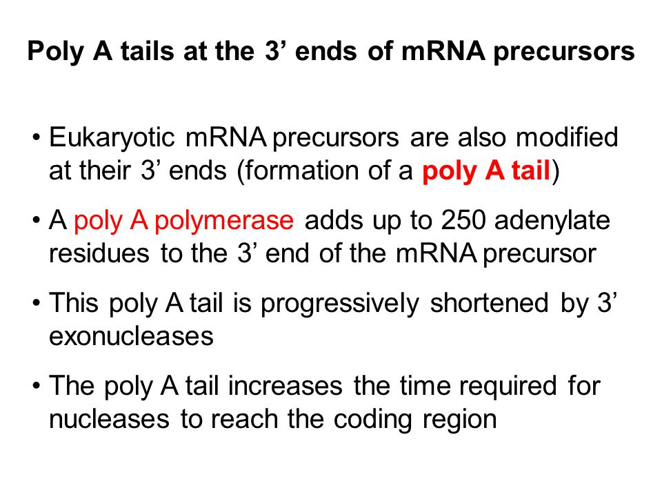 Poly A tails at the 3' ends of mRNA precursors