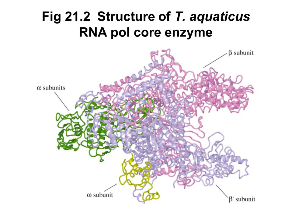 Fig 21.2 Structure of T. aquaticus RNA pol core enzyme