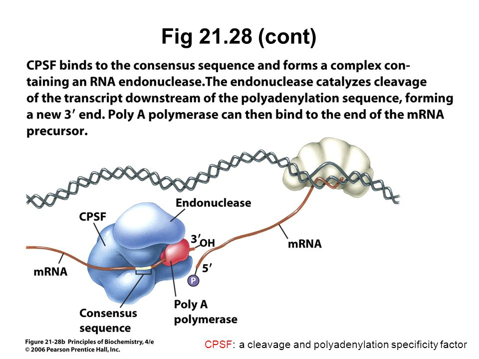 Fig 21.28 (cont) CPSF: a cleavage and polyadenylation specificity factor