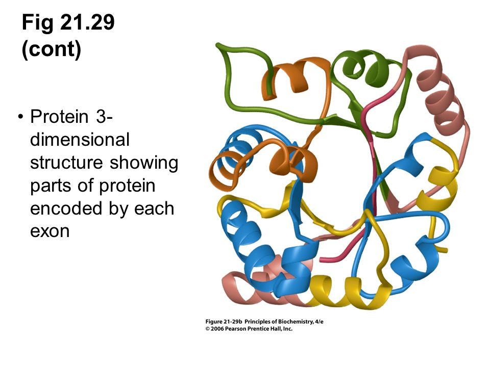 Fig 21.29 (cont) Protein 3-dimensional structure showing parts of protein encoded by each exon