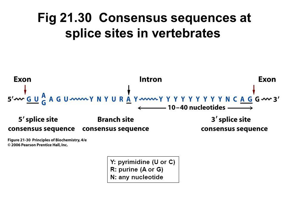 Fig 21.30 Consensus sequences at splice sites in vertebrates