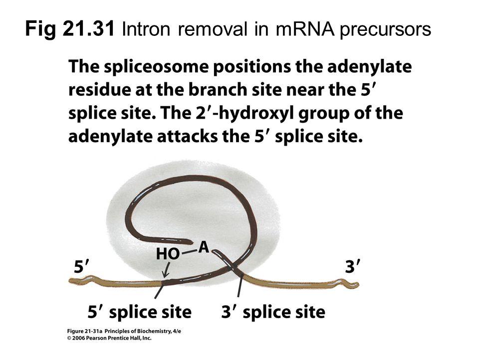 Fig 21.31 Intron removal in mRNA precursors