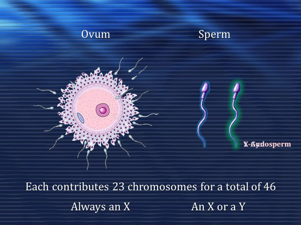 Each contributes 23 chromosomes for a total of 46