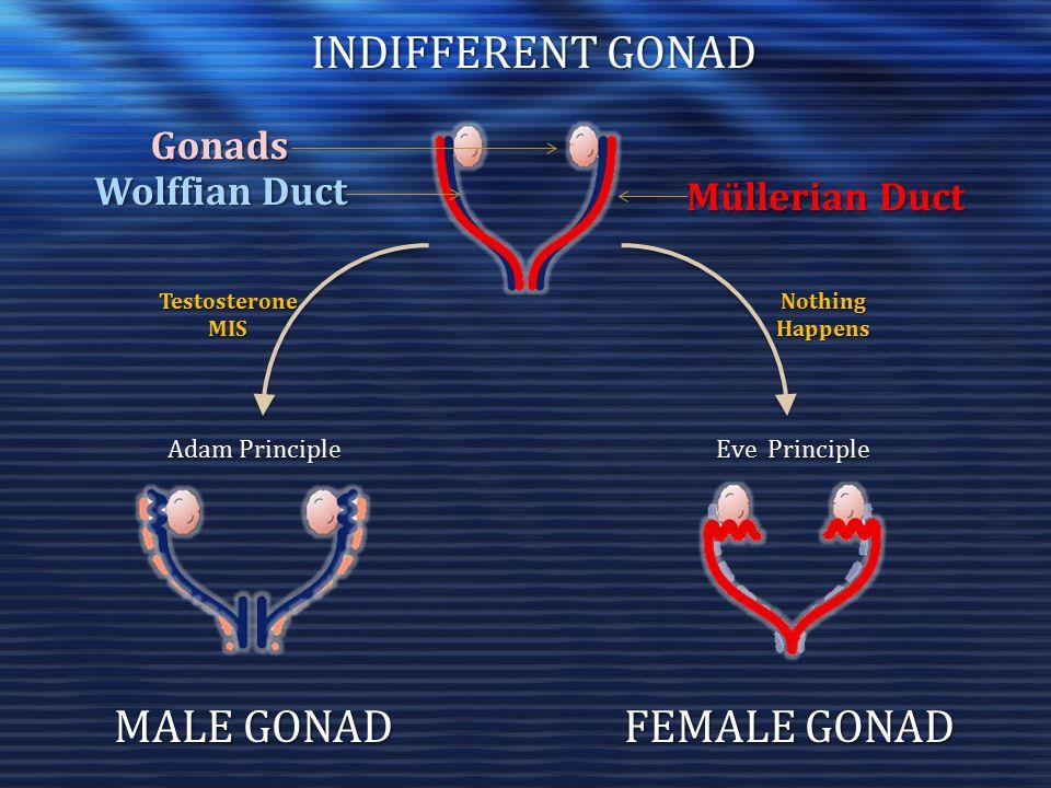 INDIFFERENT GONAD MALE GONAD FEMALE GONAD Gonads Wolffian Duct