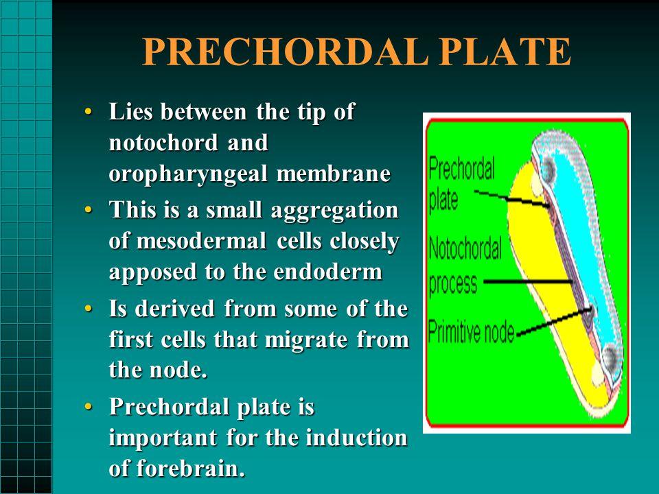 PRECHORDAL PLATE Lies between the tip of notochord and oropharyngeal membrane.