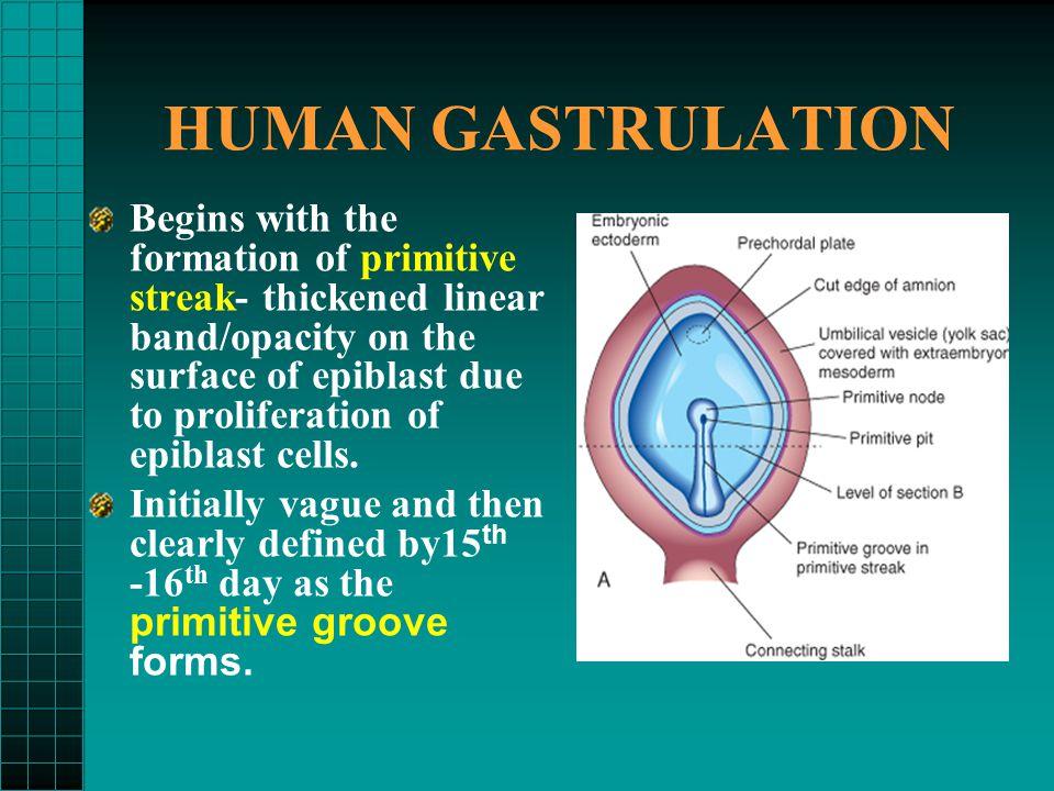 HUMAN GASTRULATION