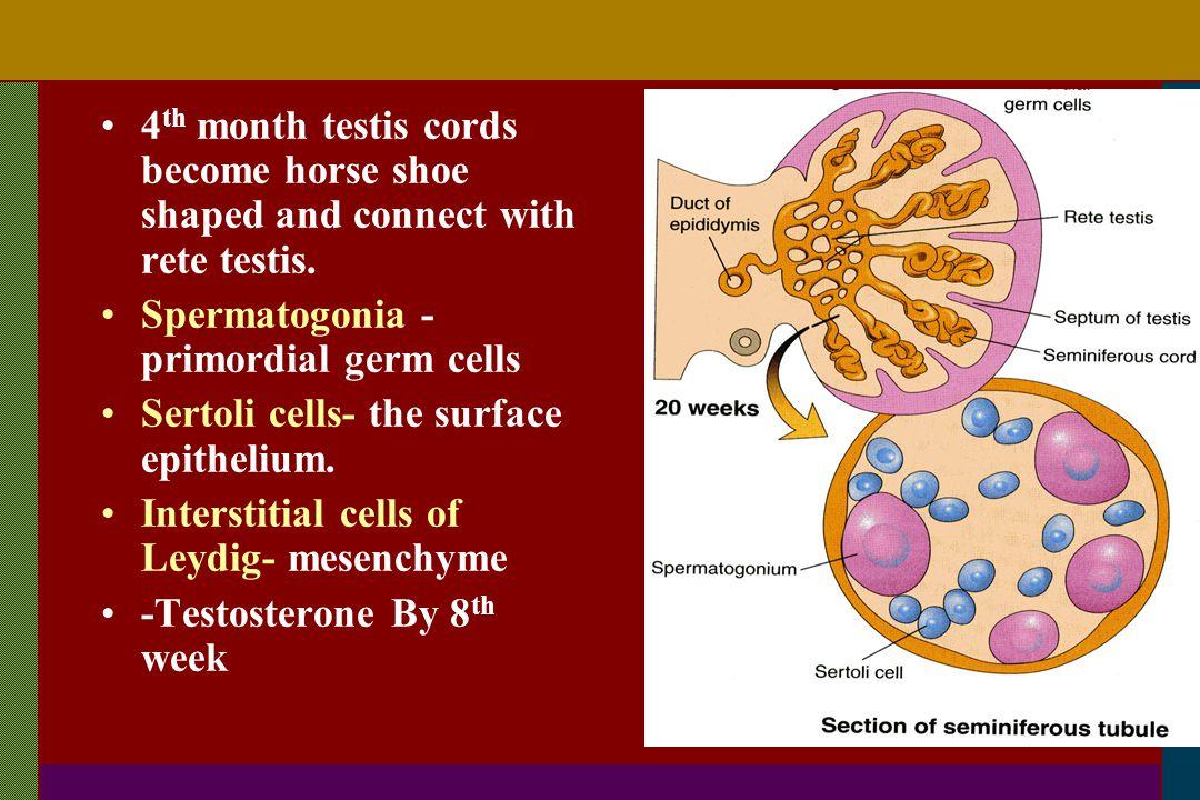Spermatogonia -primordial germ cells