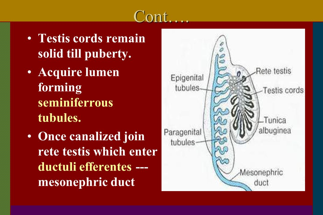 Cont…. Testis cords remain solid till puberty.